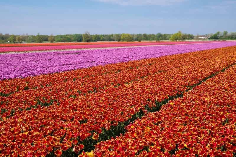 Tulip season Amsterdam